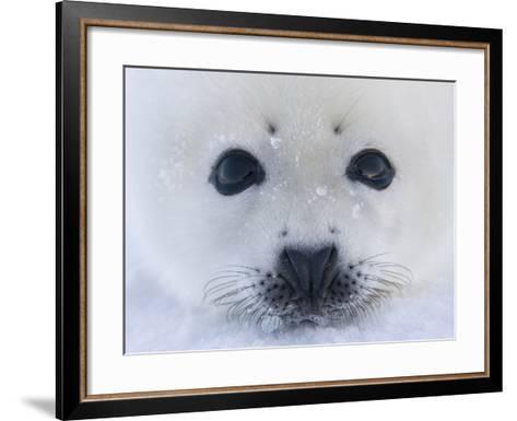 Harp Seal Pup on Ice, Iles De La Madeleine, Quebec, Canada-Keren Su-Framed Art Print