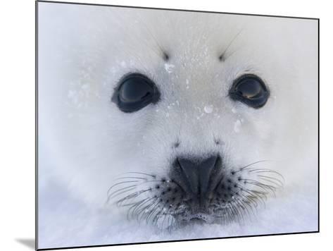 Harp Seal Pup on Ice, Iles De La Madeleine, Quebec, Canada-Keren Su-Mounted Photographic Print