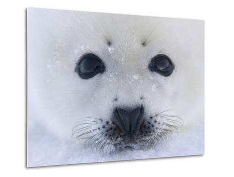 Harp Seal Pup on Ice, Iles De La Madeleine, Quebec, Canada-Keren Su-Metal Print