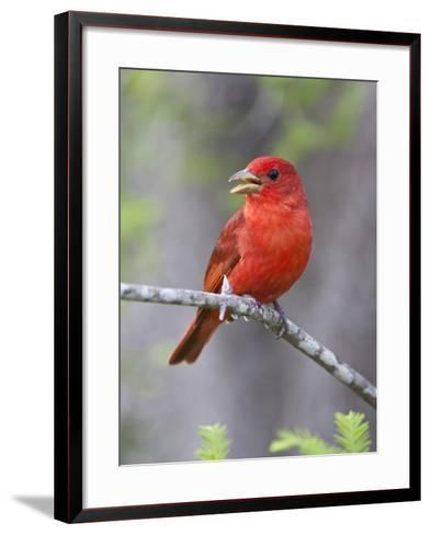 Summer Tanager, Texas, USA-Larry Ditto-Framed Art Print