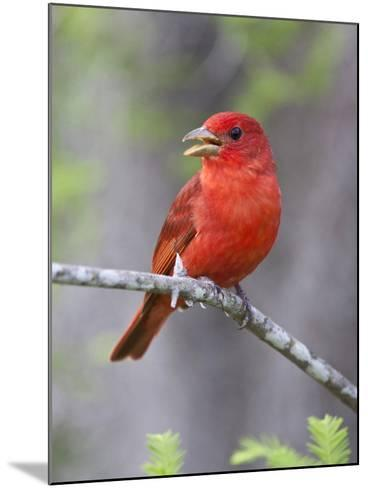 Summer Tanager, Texas, USA-Larry Ditto-Mounted Photographic Print