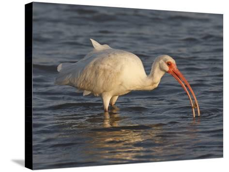 White Ibis, Texas, USA-Larry Ditto-Stretched Canvas Print