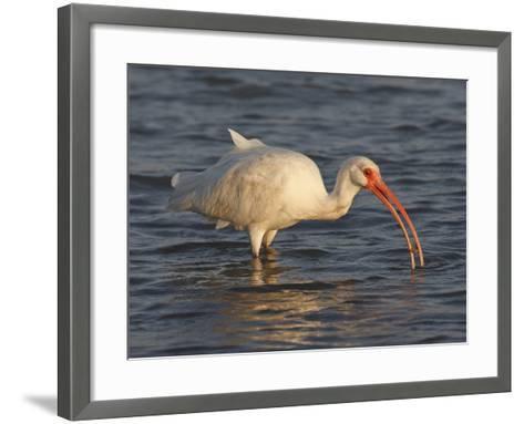 White Ibis, Texas, USA-Larry Ditto-Framed Art Print
