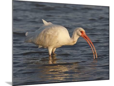White Ibis, Texas, USA-Larry Ditto-Mounted Photographic Print