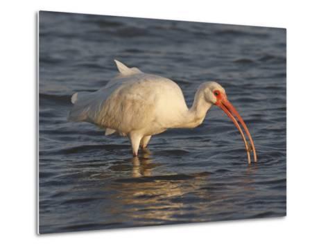 White Ibis, Texas, USA-Larry Ditto-Metal Print