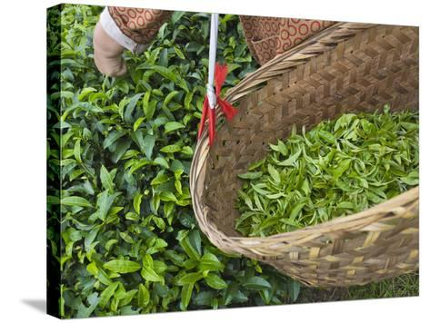 Harvesting Tieguanyin Tea Leaves at a Tea Plantation, Fujian, China-Keren Su-Stretched Canvas Print