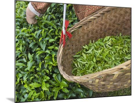 Harvesting Tieguanyin Tea Leaves at a Tea Plantation, Fujian, China-Keren Su-Mounted Photographic Print