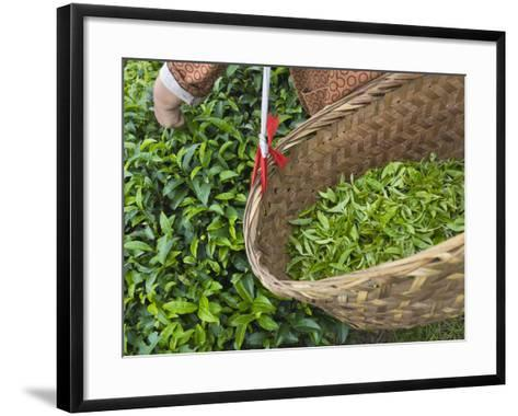 Harvesting Tieguanyin Tea Leaves at a Tea Plantation, Fujian, China-Keren Su-Framed Art Print