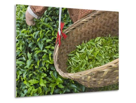 Harvesting Tieguanyin Tea Leaves at a Tea Plantation, Fujian, China-Keren Su-Metal Print