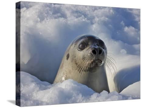 Mother Harp Seal Raising Head Out of Hole in Ice, Iles De La Madeleine, Quebec, Canada-Keren Su-Stretched Canvas Print