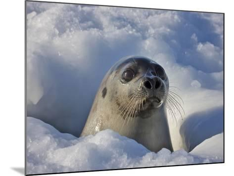 Mother Harp Seal Raising Head Out of Hole in Ice, Iles De La Madeleine, Quebec, Canada-Keren Su-Mounted Photographic Print