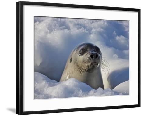 Mother Harp Seal Raising Head Out of Hole in Ice, Iles De La Madeleine, Quebec, Canada-Keren Su-Framed Art Print