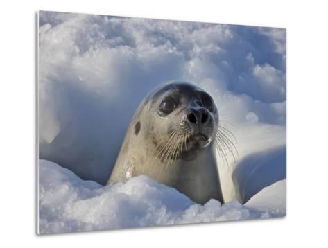 Mother Harp Seal Raising Head Out of Hole in Ice, Iles De La Madeleine, Quebec, Canada-Keren Su-Metal Print