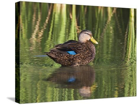 Mottled Duck, Texas, USA-Larry Ditto-Stretched Canvas Print