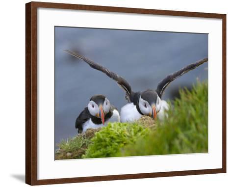 Atlantic Puffin, Latrabjarg, Vestfirdhir, Iceland-Keren Su-Framed Art Print
