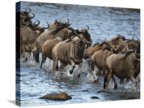 White-Bearded Wildebeest, Masai Mara Game Reserve, Kenya-Joe & Mary Ann McDonald-Stretched Canvas Print