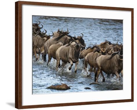 White-Bearded Wildebeest, Masai Mara Game Reserve, Kenya-Joe & Mary Ann McDonald-Framed Art Print