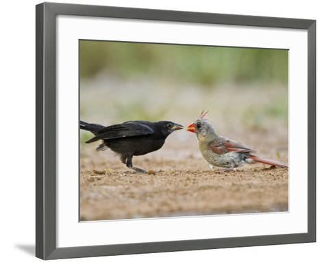 Northern Cardinal, Texas, USA-Larry Ditto-Framed Art Print