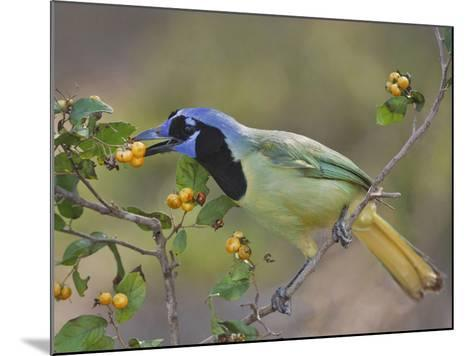 Green Jay, Texas, USA-Larry Ditto-Mounted Photographic Print