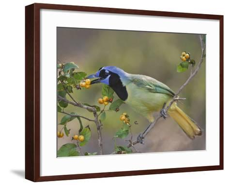 Green Jay, Texas, USA-Larry Ditto-Framed Art Print