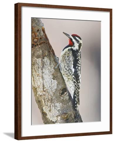 Yellow-Bellied Sapsucker, Texas, USA-Larry Ditto-Framed Art Print