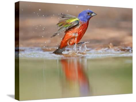 Painted Bunting, Texas, USA-Larry Ditto-Stretched Canvas Print