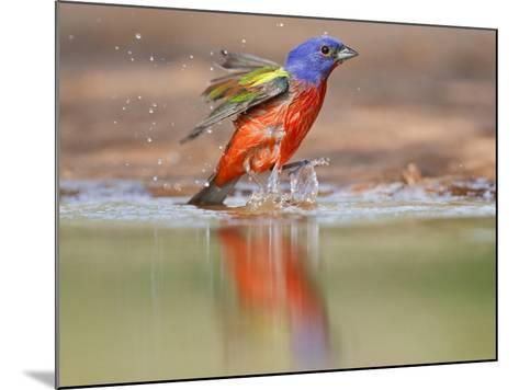 Painted Bunting, Texas, USA-Larry Ditto-Mounted Photographic Print