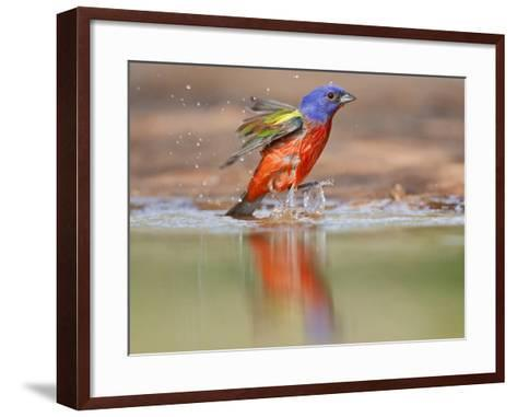 Painted Bunting, Texas, USA-Larry Ditto-Framed Art Print