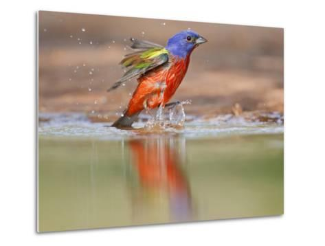 Painted Bunting, Texas, USA-Larry Ditto-Metal Print