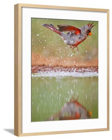 Pyrrhuloxia, Texas, USA-Larry Ditto-Framed Art Print