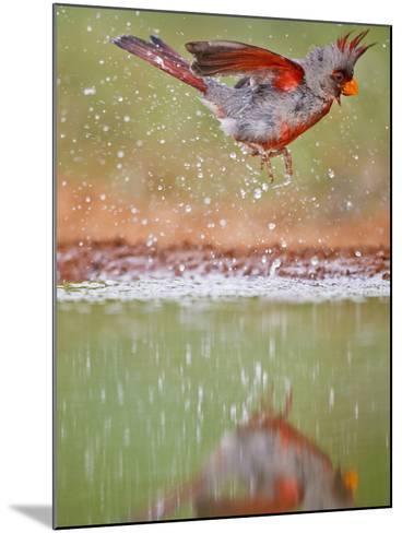 Pyrrhuloxia, Texas, USA-Larry Ditto-Mounted Photographic Print