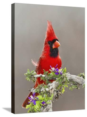 Northern Cardinal, Texas, USA-Larry Ditto-Stretched Canvas Print