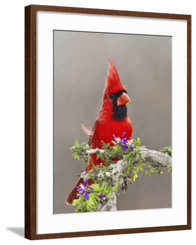 Northern Cardinal, Texas, USA-Larry Ditto-Framed Art Print