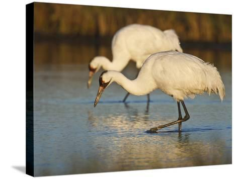 Whooping Crane, Aransas National Wildlife Refuge, Texas, USA-Larry Ditto-Stretched Canvas Print