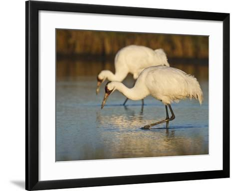 Whooping Crane, Aransas National Wildlife Refuge, Texas, USA-Larry Ditto-Framed Art Print