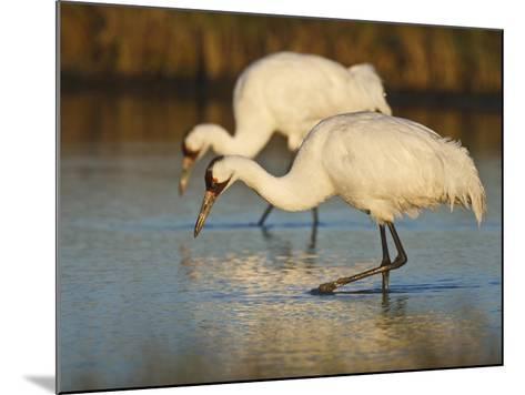 Whooping Crane, Aransas National Wildlife Refuge, Texas, USA-Larry Ditto-Mounted Photographic Print