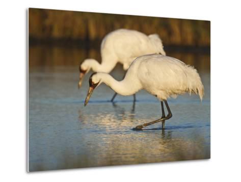 Whooping Crane, Aransas National Wildlife Refuge, Texas, USA-Larry Ditto-Metal Print