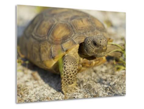 Gopher Tortoise, Gopherus Polyphemus, Wiregrass Community, Central Florida, USA-Maresa Pryor-Metal Print