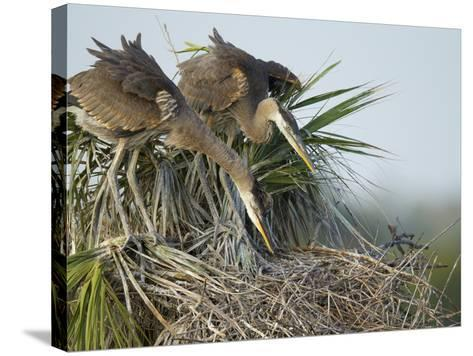 Great Blue Heron Chicks in Nest Looking for Bugs, Ardea Herodias, Viera Wetlands, Florida, USA-Maresa Pryor-Stretched Canvas Print
