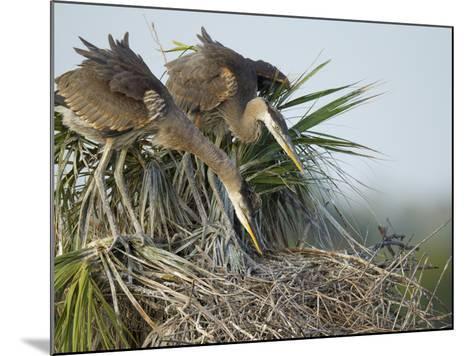 Great Blue Heron Chicks in Nest Looking for Bugs, Ardea Herodias, Viera Wetlands, Florida, USA-Maresa Pryor-Mounted Photographic Print