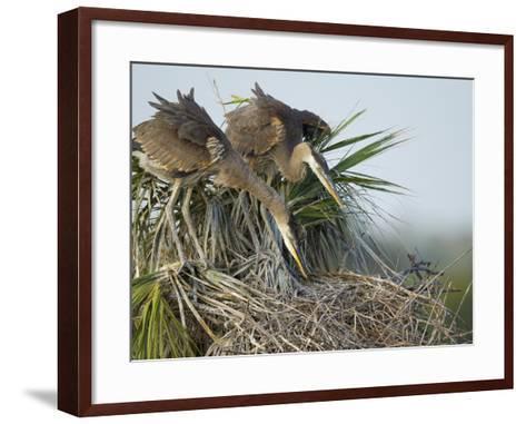 Great Blue Heron Chicks in Nest Looking for Bugs, Ardea Herodias, Viera Wetlands, Florida, USA-Maresa Pryor-Framed Art Print