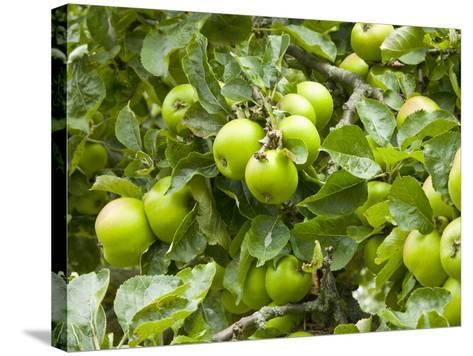 James Grieve Apples, England-Paul Thompson-Stretched Canvas Print