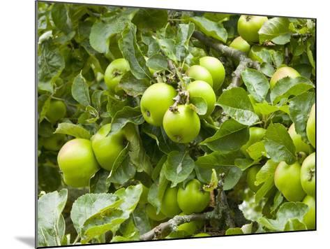 James Grieve Apples, England-Paul Thompson-Mounted Photographic Print
