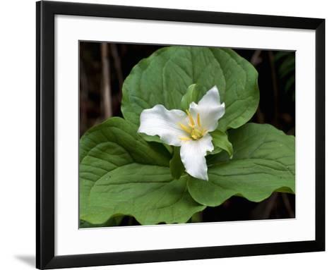 Western Trillium, Grand Forest Bainbridge Island Land Trust Park, Bainbridge Island, Washington USA-Trish Drury-Framed Art Print