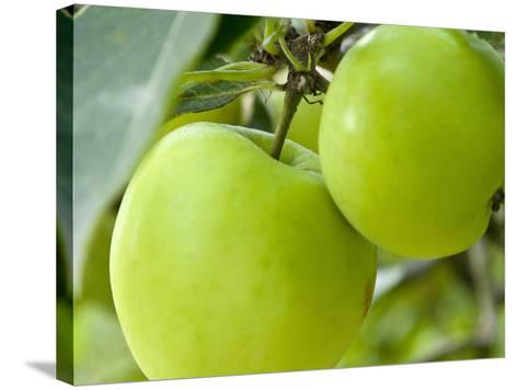 Two Cooking Apples on Tree, England-Paul Thompson-Stretched Canvas Print