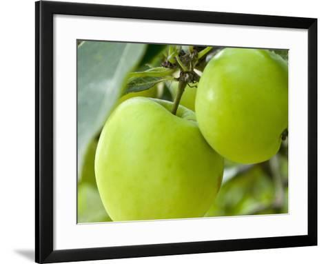 Two Cooking Apples on Tree, England-Paul Thompson-Framed Art Print