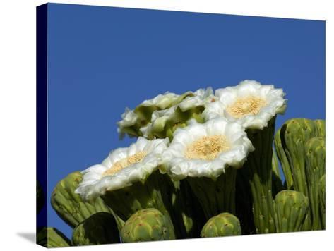 Saguaro Cactus, Saguaro National Park, Tucson, Arizona, USA-Peter Hawkins-Stretched Canvas Print