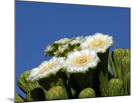 Saguaro Cactus, Saguaro National Park, Tucson, Arizona, USA-Peter Hawkins-Mounted Photographic Print