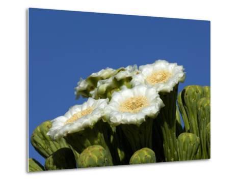 Saguaro Cactus, Saguaro National Park, Tucson, Arizona, USA-Peter Hawkins-Metal Print