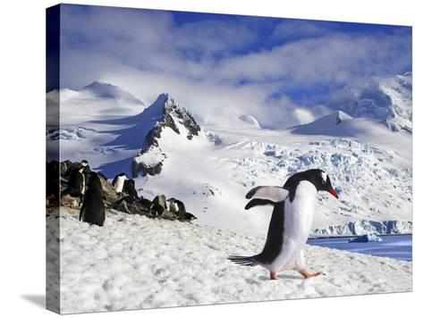 Gentoo Penguin (Pygoscelis Papua) Waddles Toward the Arctic Sea Near Paradise Harbor, Antarctica-Miva Stock-Stretched Canvas Print